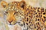 Young Leopard_thumbnail