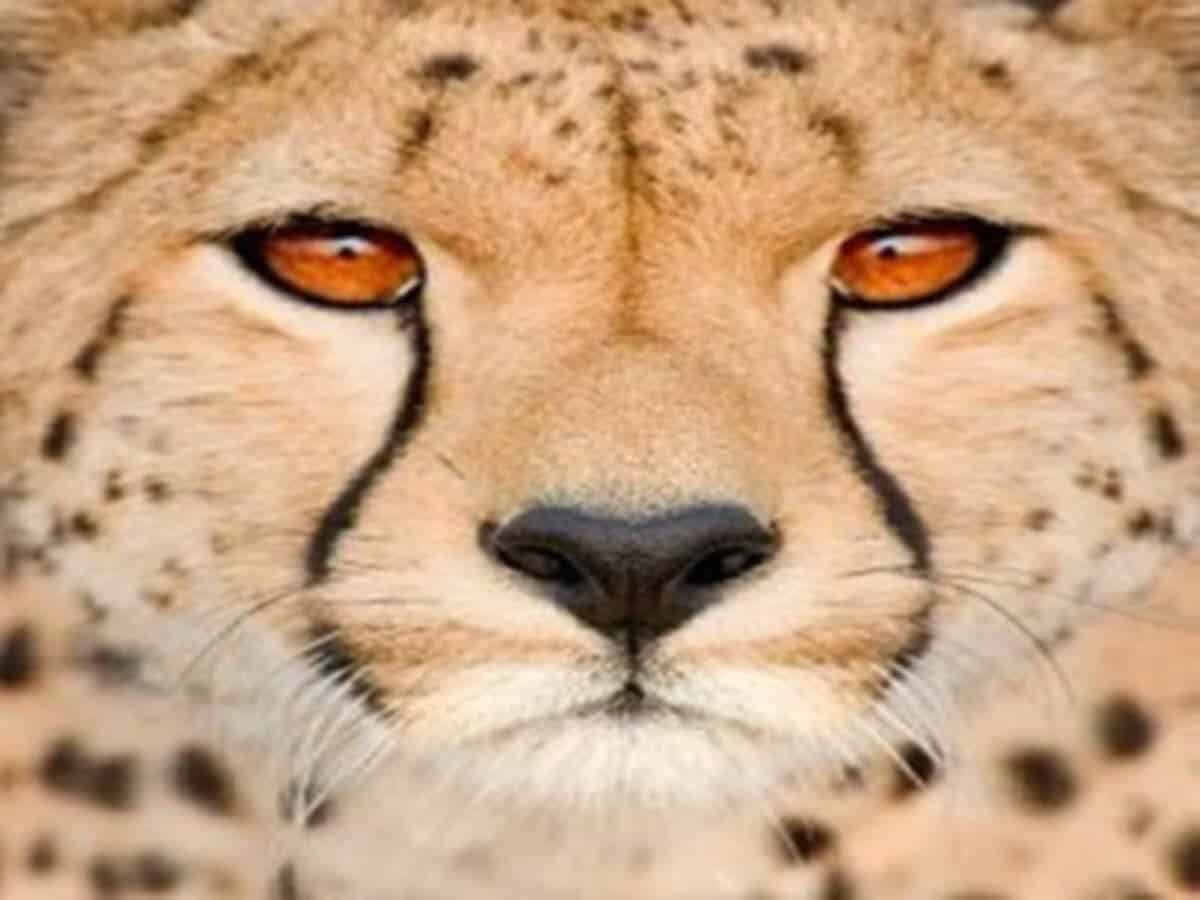 cross stitched picture, A Cheetah's Mask